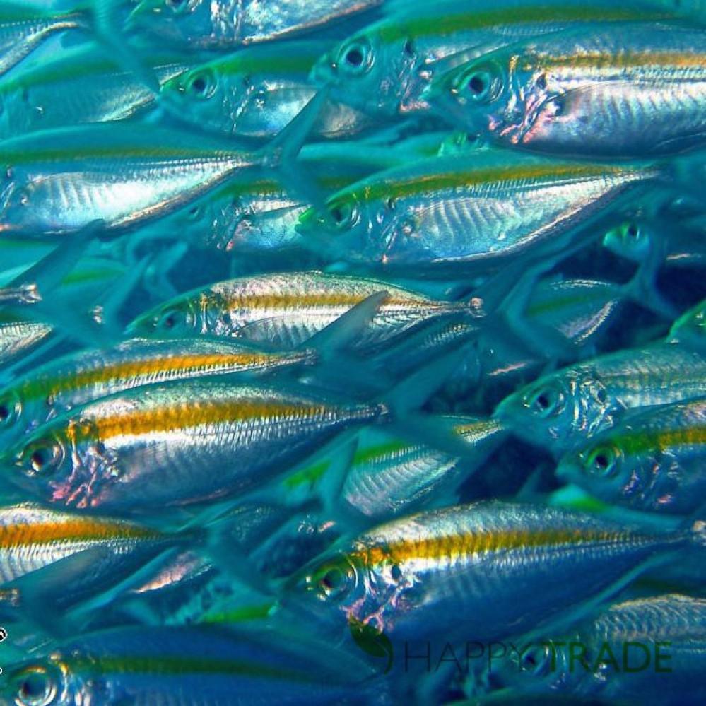 Cá Trác vàng biển Ích Hữu 400g